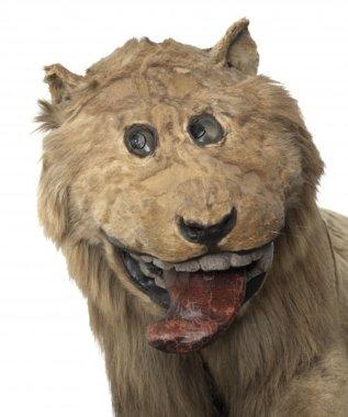 doofy-lion
